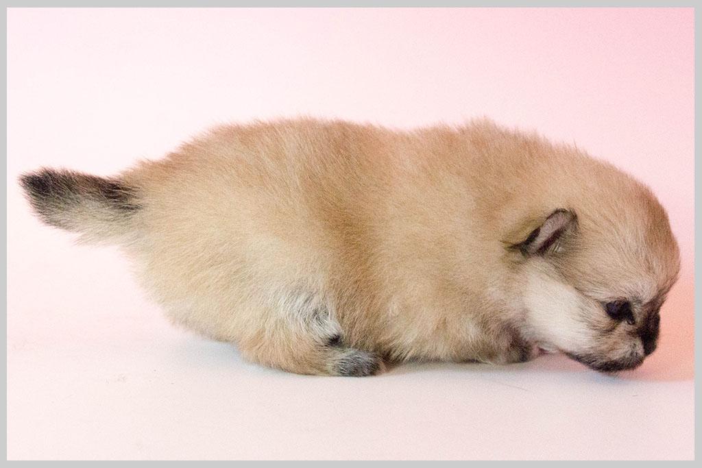 ポメラニアン子犬販売03の画像2