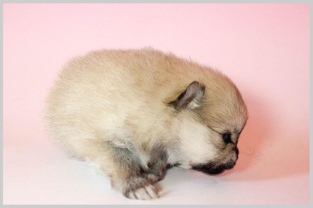 ポメラニアン子犬販売03の画像1