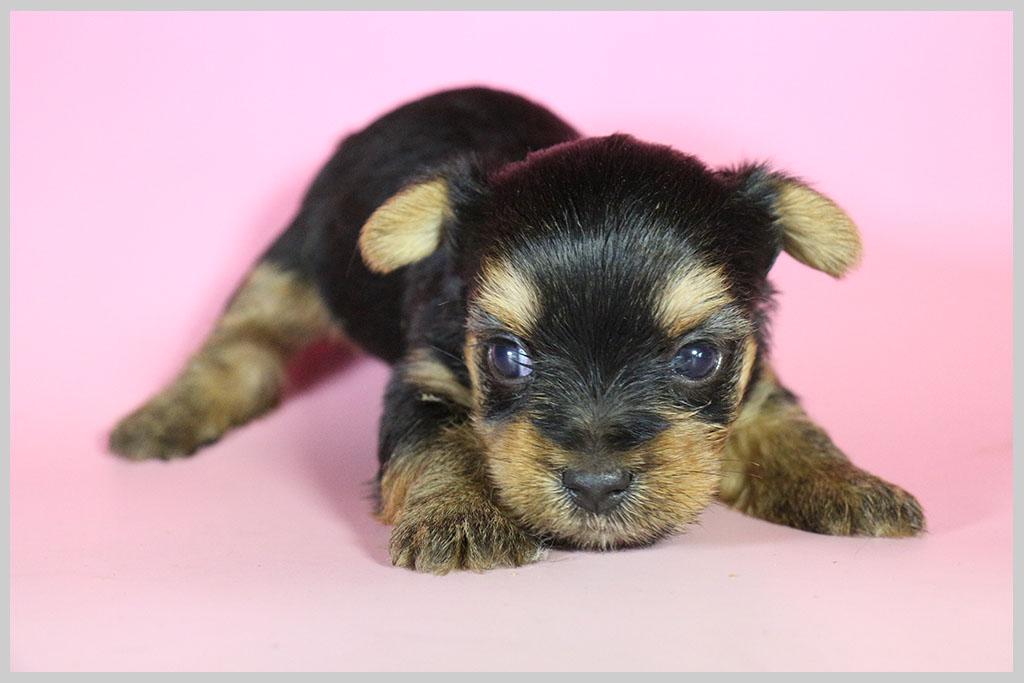 良血統ヨークシャーテリア子犬販売02の画像3