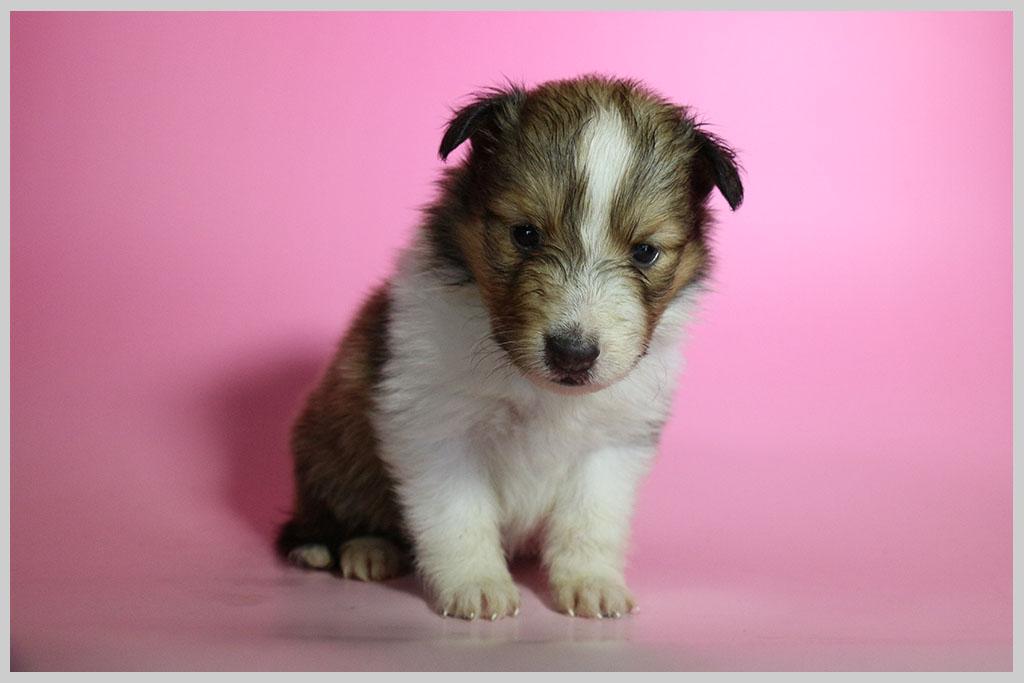シェットランドシープドッグ子犬販売01の画像1
