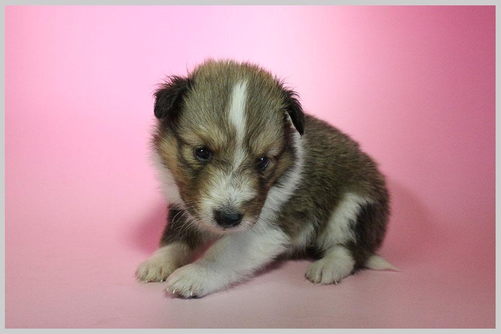 シェットランドシープドッグ子犬販売01の画像2