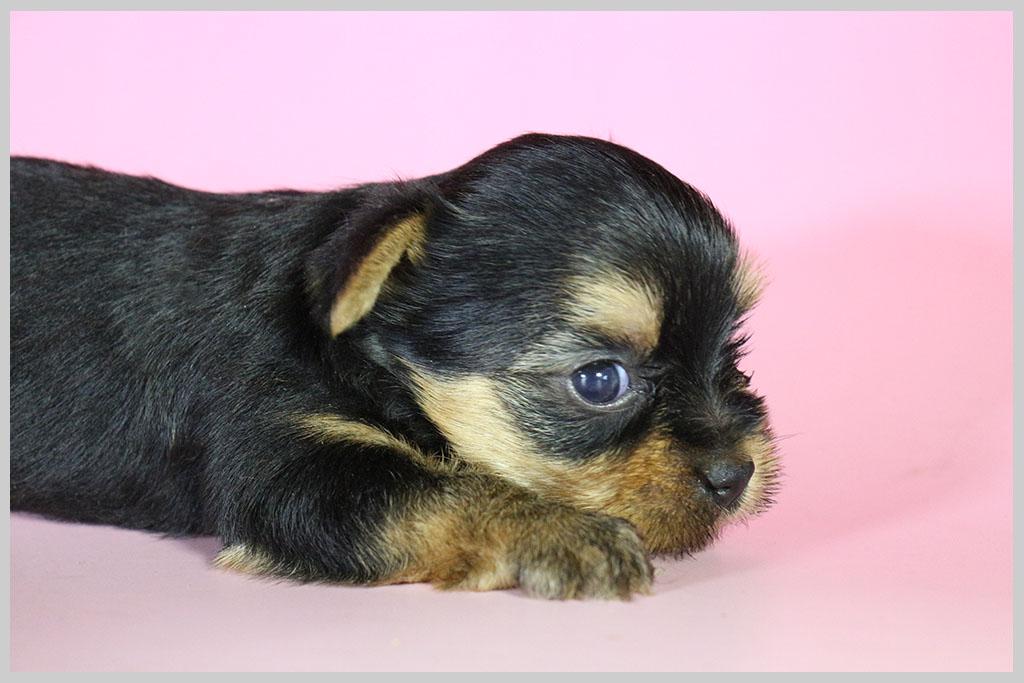良血統ヨークシャーテリア子犬販売02の画像2