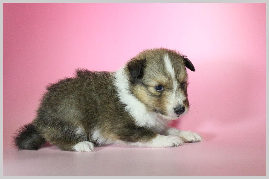 シェットランドシープドッグ子犬販売01の画像3