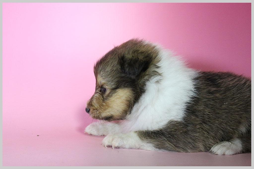 シェットランドシープドッグ子犬販売02の画像3