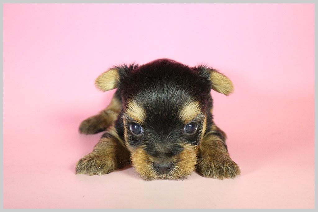 良血統ヨークシャーテリア子犬販売02の画像1