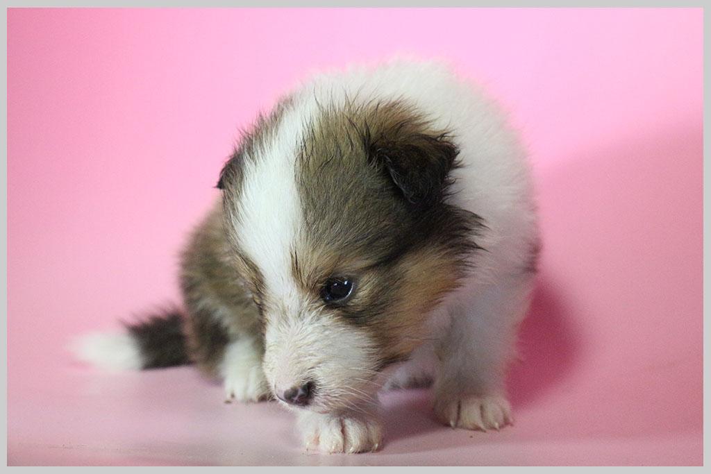 シェットランドシープドッグ子犬販売03の画像2
