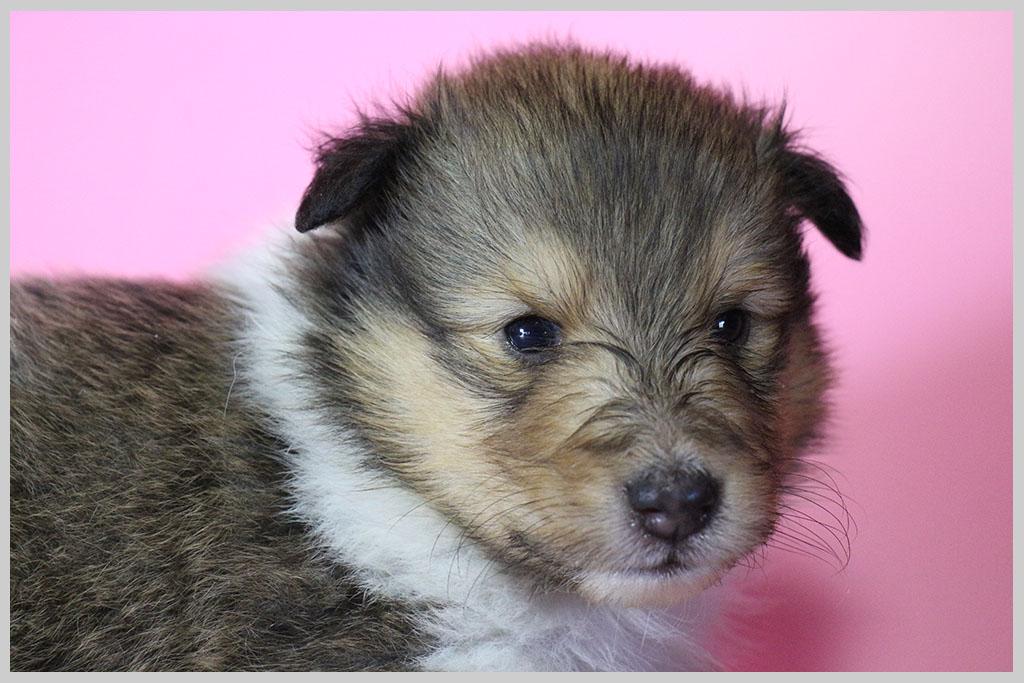 シェットランドシープドッグ子犬販売02の画像1
