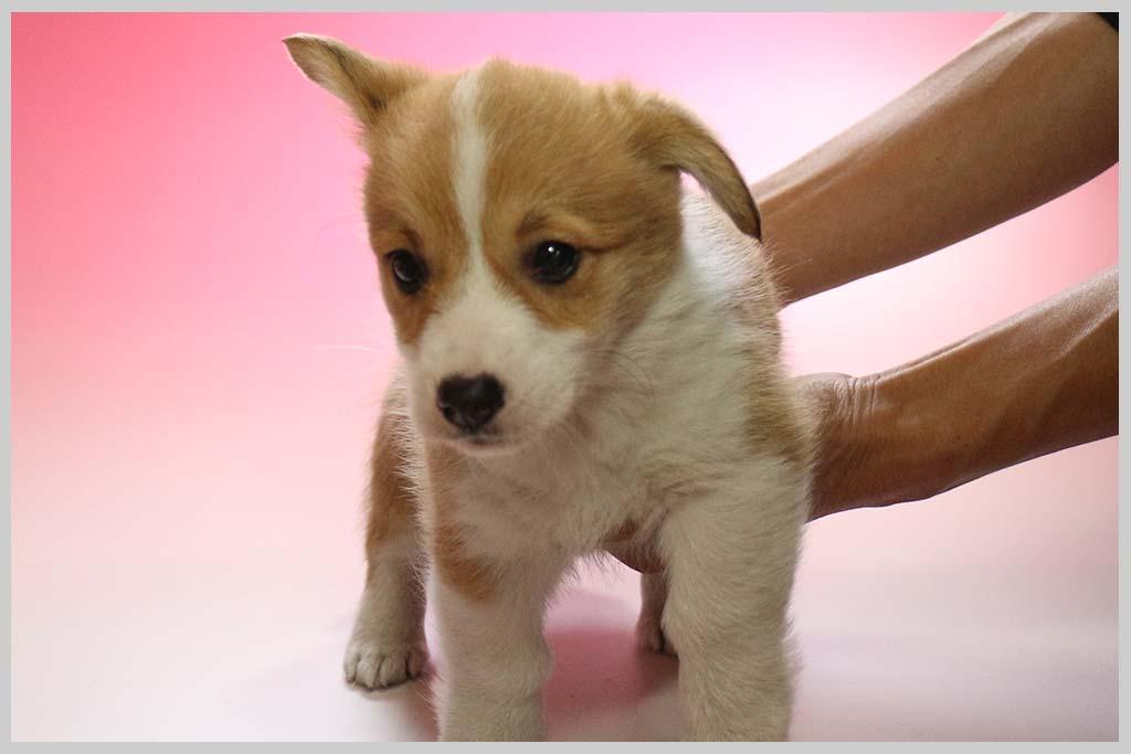 ウェルシュ・コーギー・ペンブローク02子犬販売の画像1