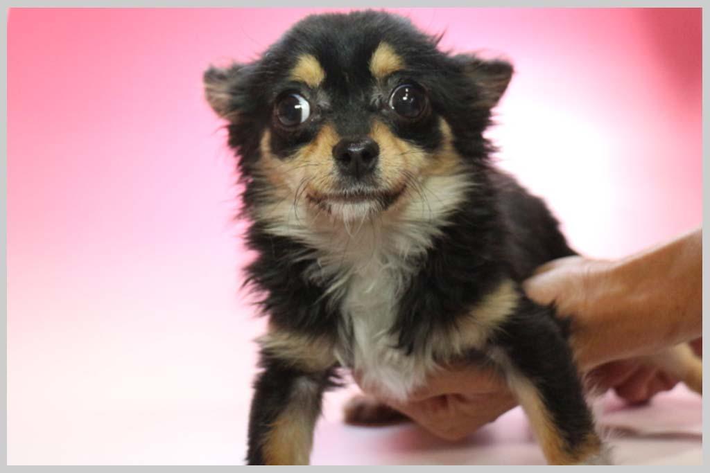 チワワ(ロングコート)子犬販売の画像1