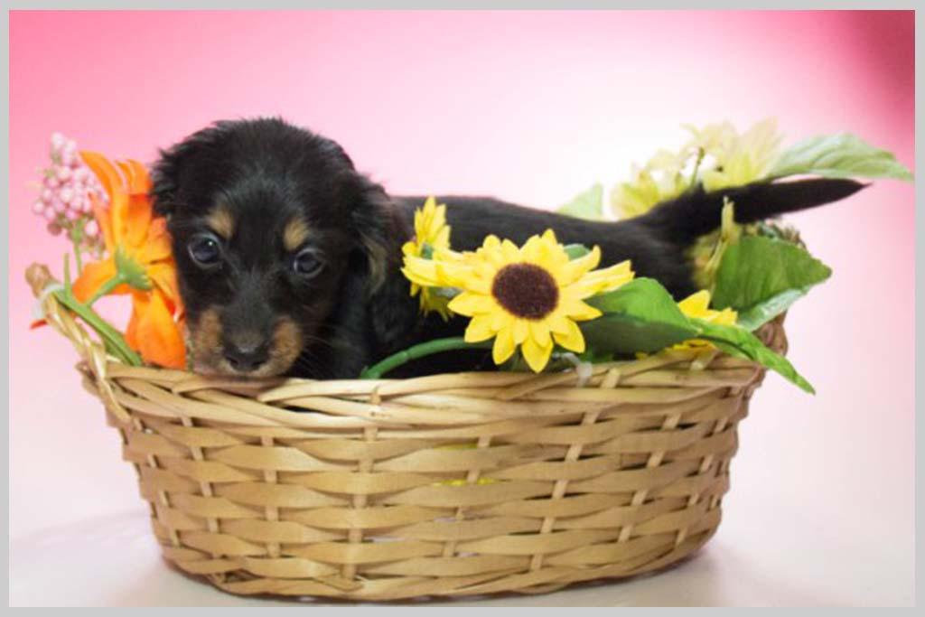 ミニチュアダックスフンド(ロング)良血統子犬販売の画像1