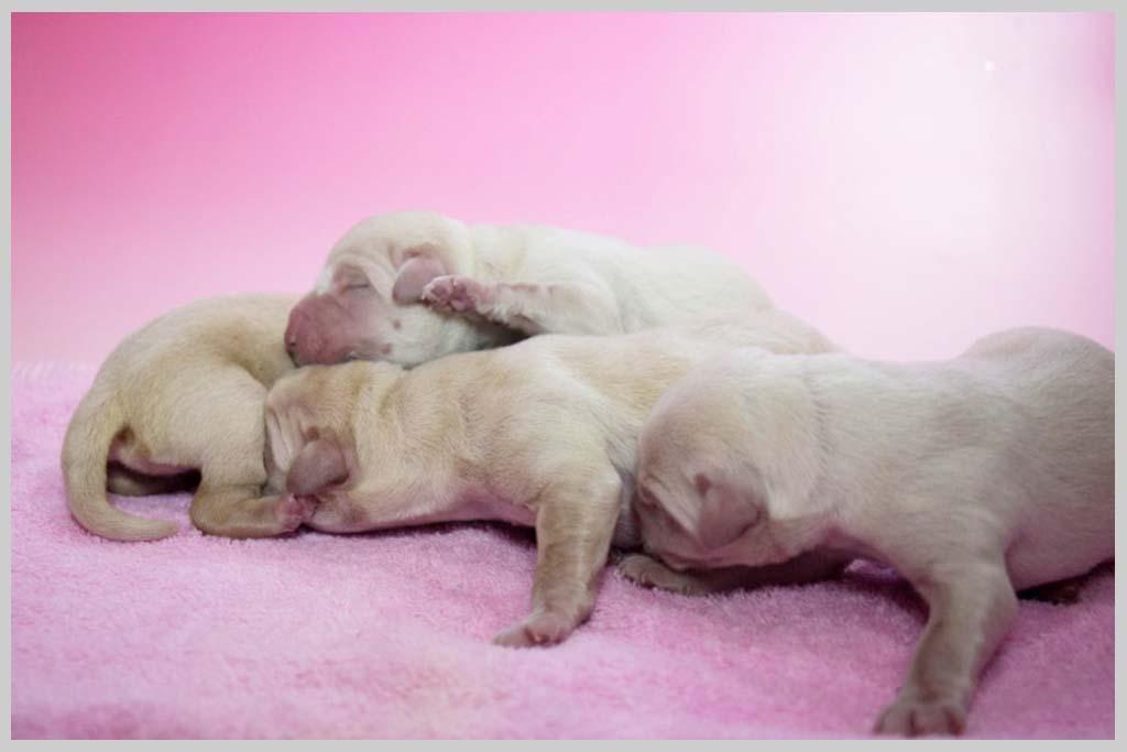ラブラドール・レトリバー子犬販売の画像2
