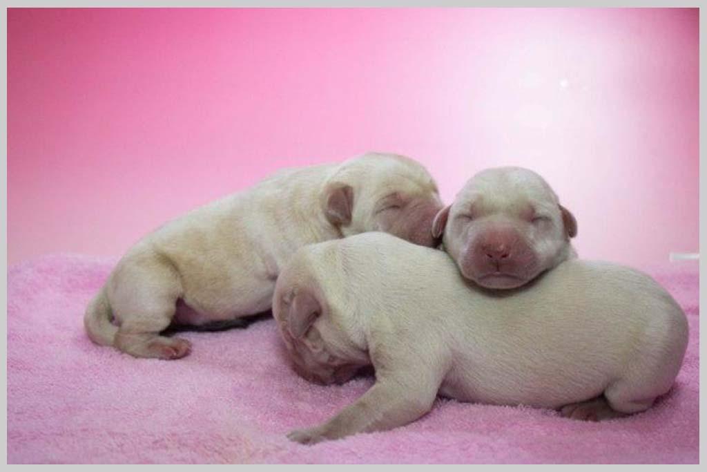 ラブラドール・レトリバー子犬販売の画像3