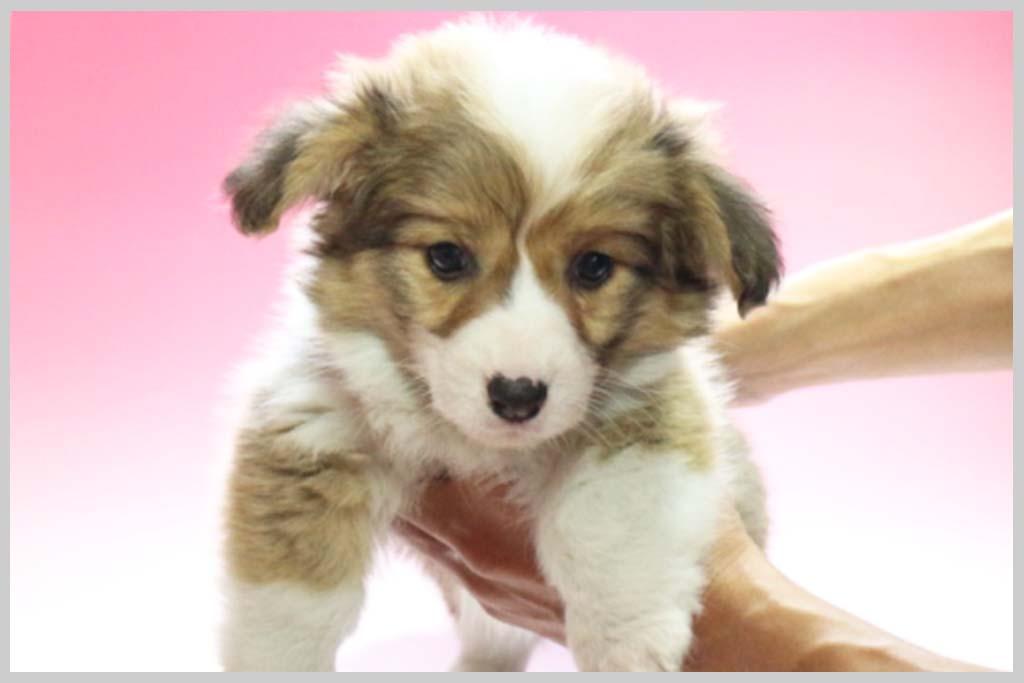 ウェルシュ・コーギー・ペンブローク01子犬販売の画像1