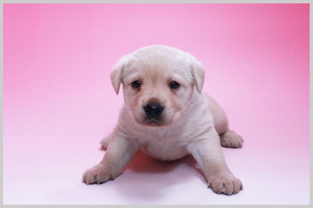 ラブラドールレトリバー子犬販売01の画像1