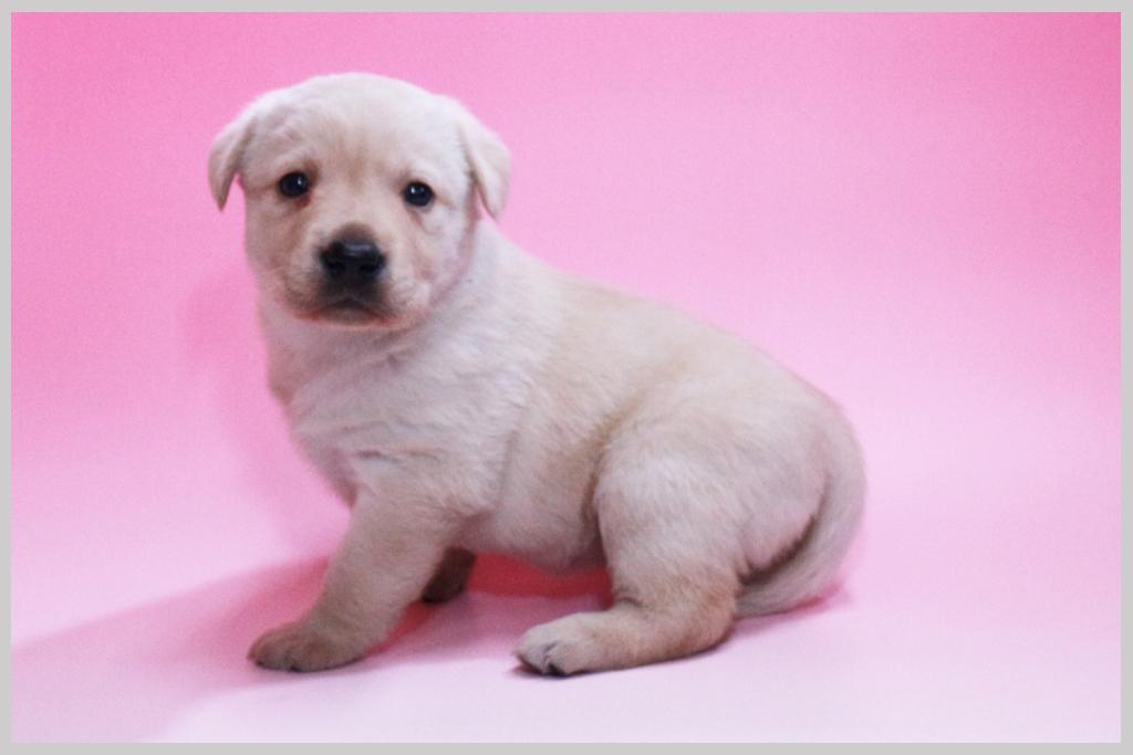 ラブラドールレトリバー子犬販売01の画像2