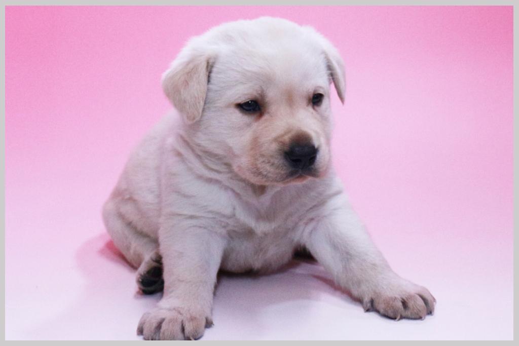 ラブラドールレトリバー子犬販売02の画像3