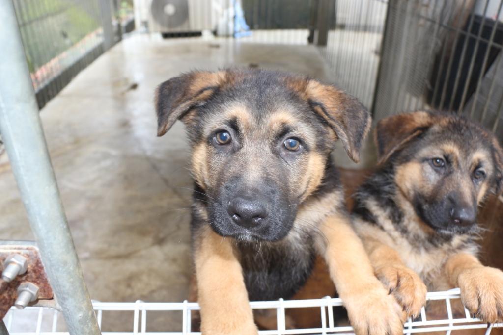 ジャーマンシェパードショータイプ 女の子 子犬販売の画像1