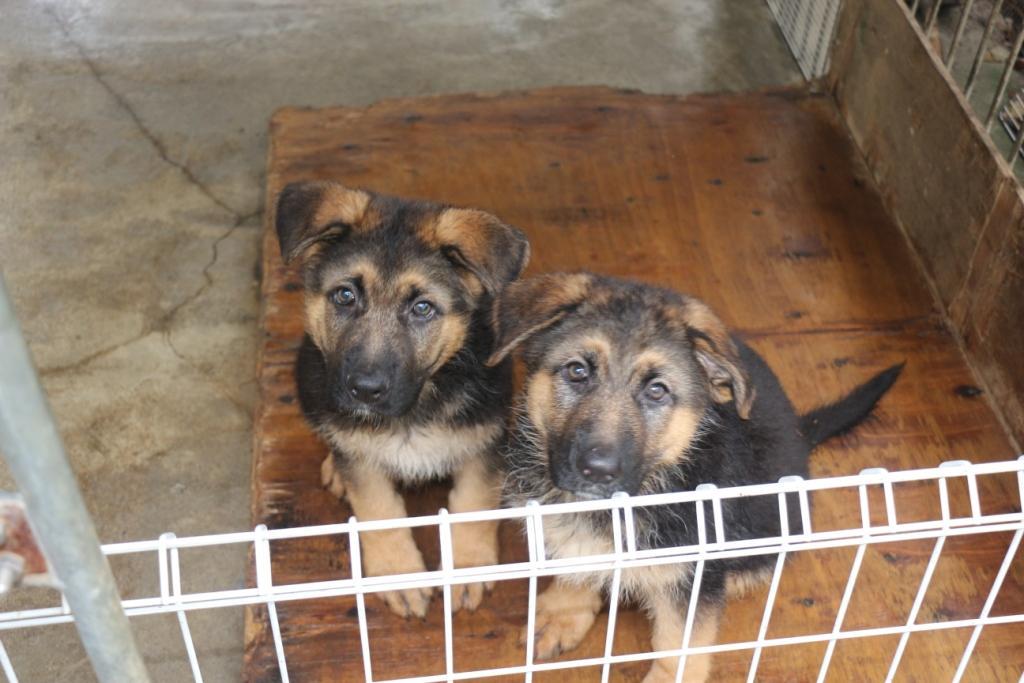 ジャーマンシェパードショータイプ 女の子 子犬販売の画像3
