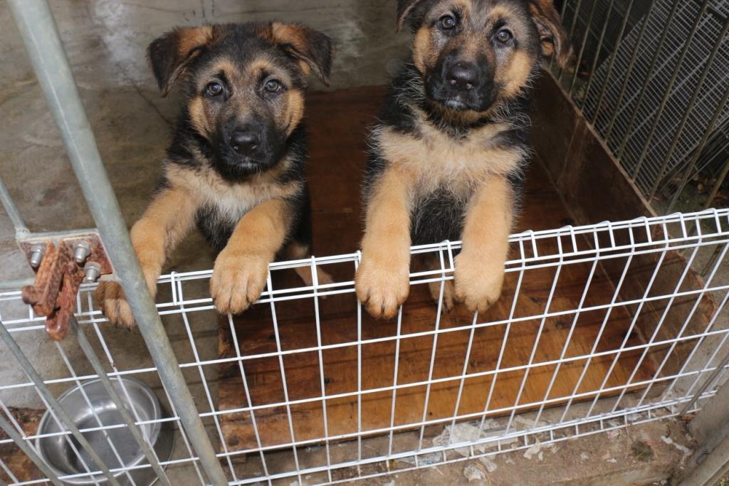 ジャーマンシェパードショータイプ 女の子 子犬販売の画像2