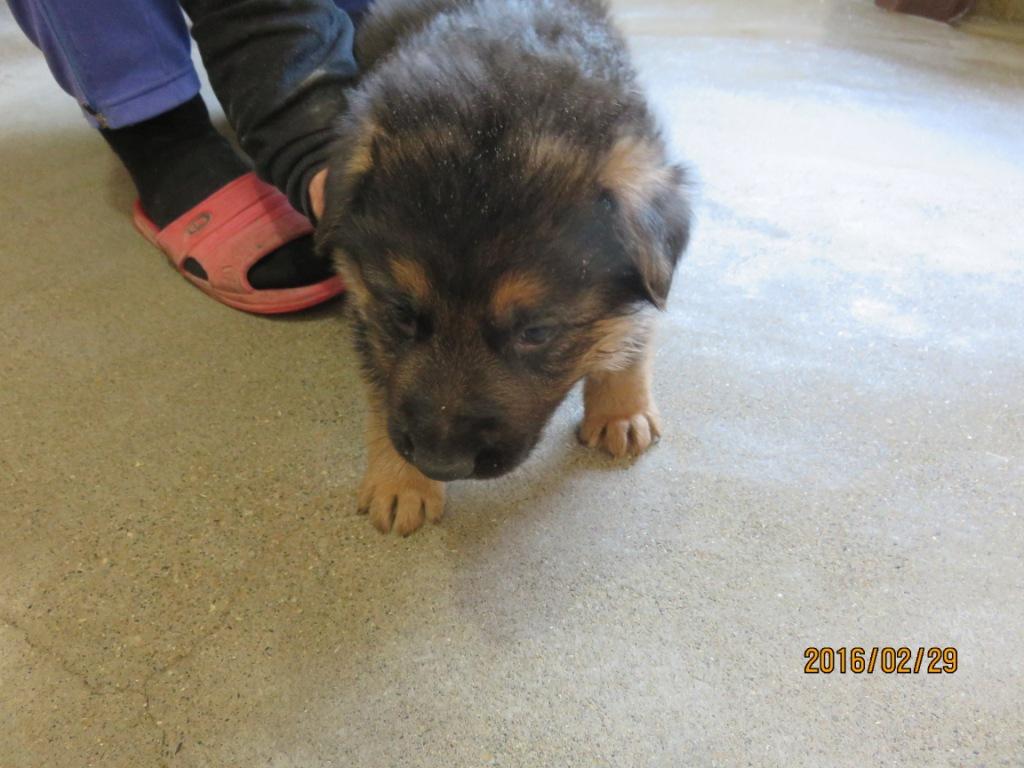 ジャーマンシェパード 子犬販売の画像2
