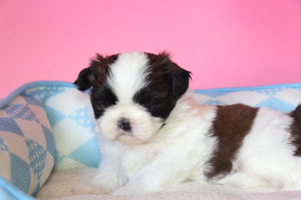 シーズー 子犬販売情報の画像1