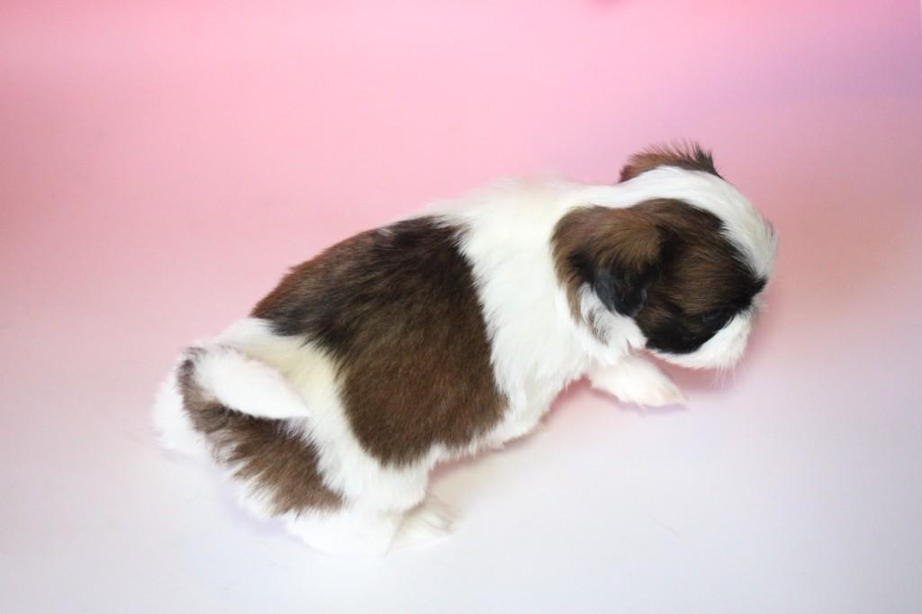 シーズー 子犬販売情報の画像3