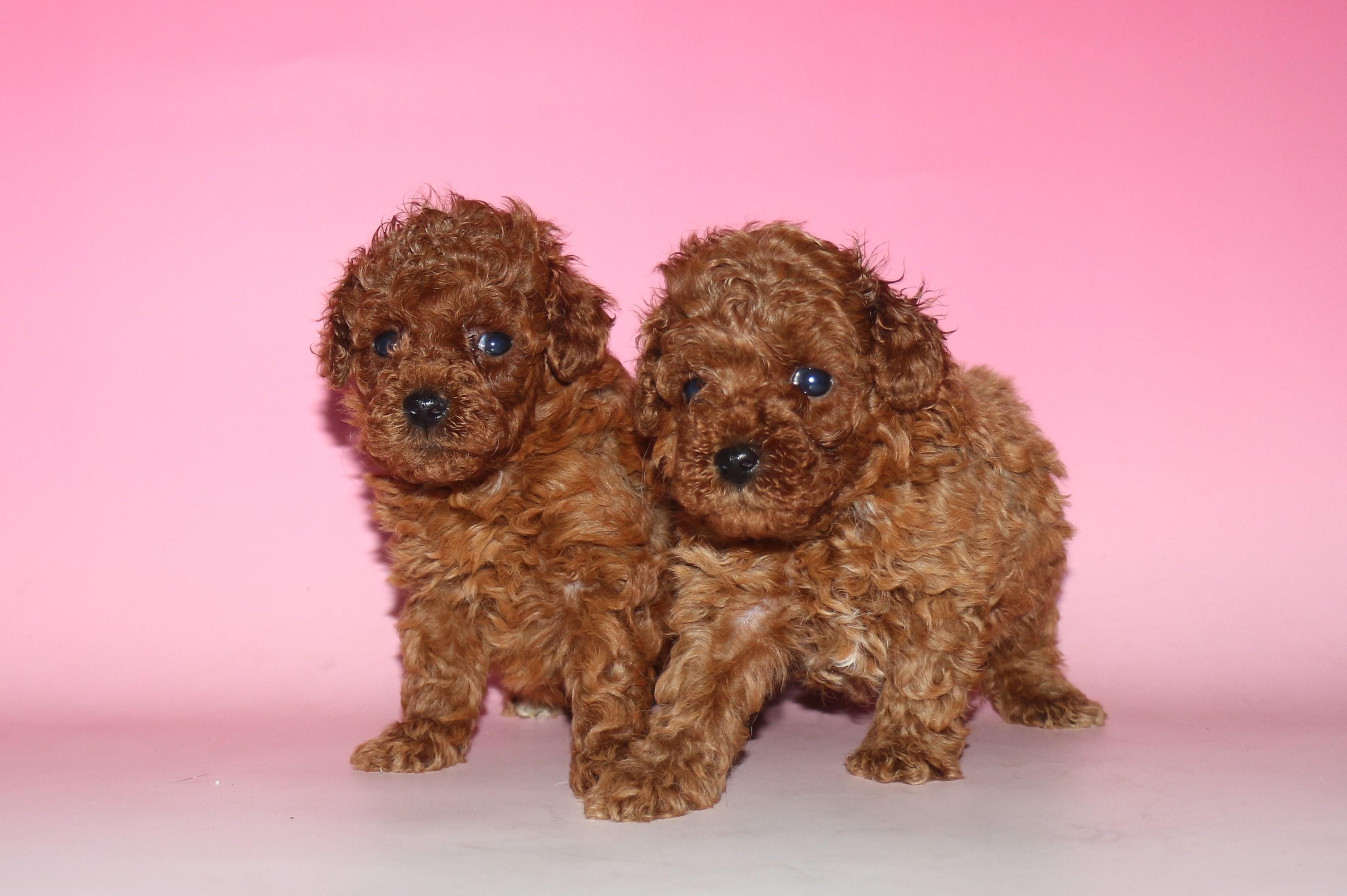 トイ・プードル 子犬販売情報の画像1