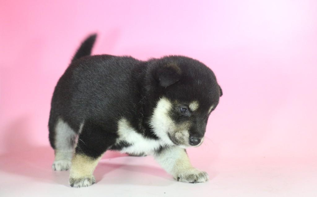柴犬 01 子犬出産情報の画像3