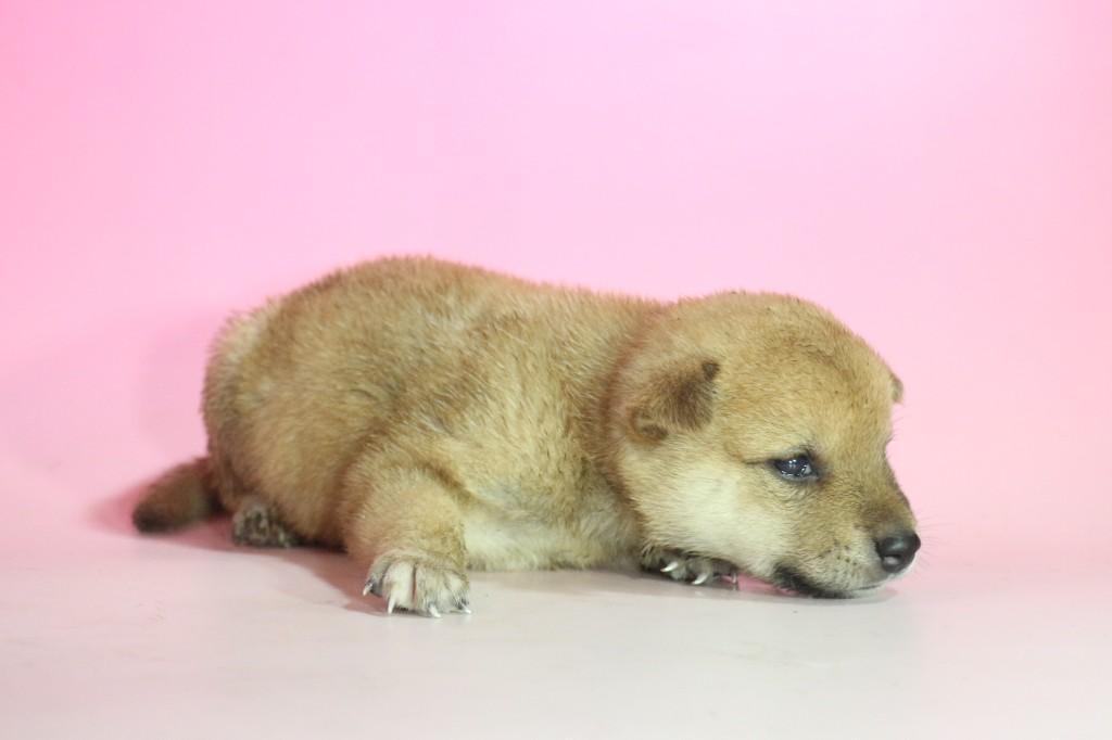 柴犬02 子犬出産情報の画像2