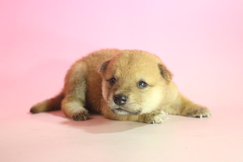 柴犬02 子犬出産情報の画像3