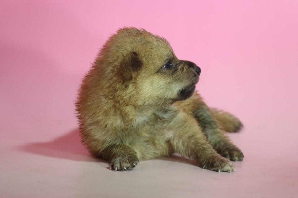 柴犬03 子犬出産情報の画像2