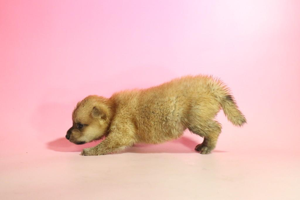 柴犬03 子犬出産情報の画像3