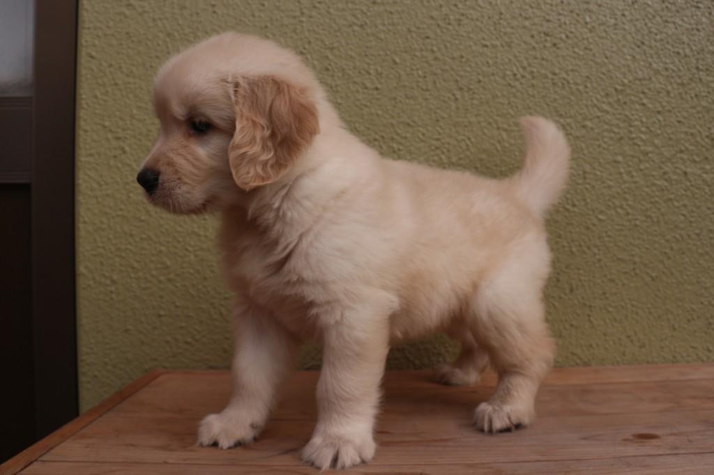 ゴールデンレトリバー 子犬出産情報の画像3