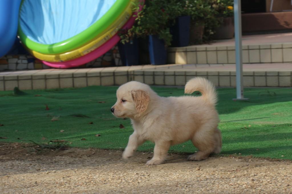 ゴールデンレトリバー 子犬出産情報の画像2