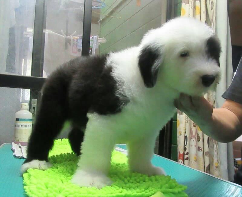 オールド・イングリッシュ・シープドッグの子犬出産情報の画像2