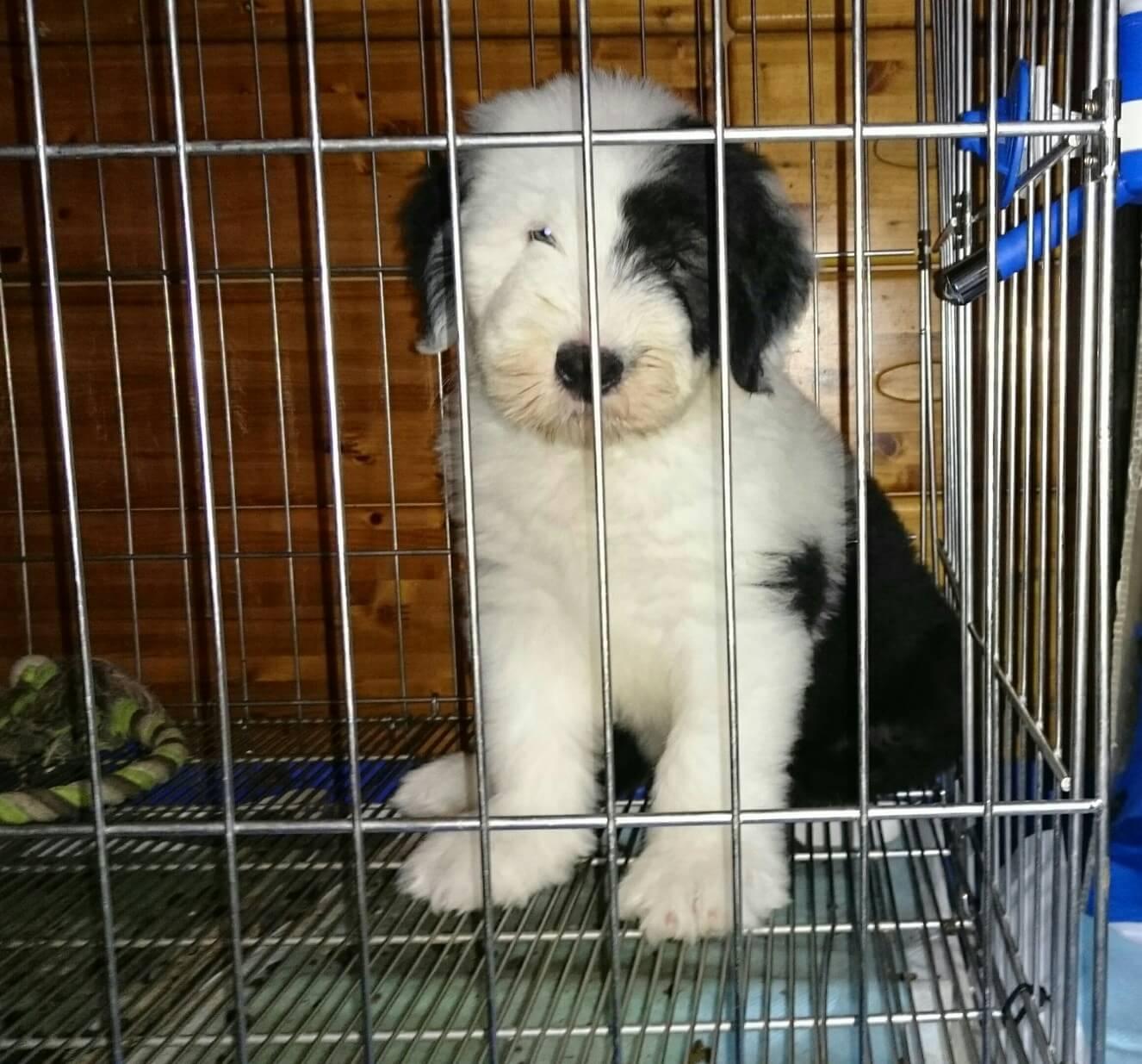 オールド・イングリッシュ・シープドッグの子犬出産情報の画像3
