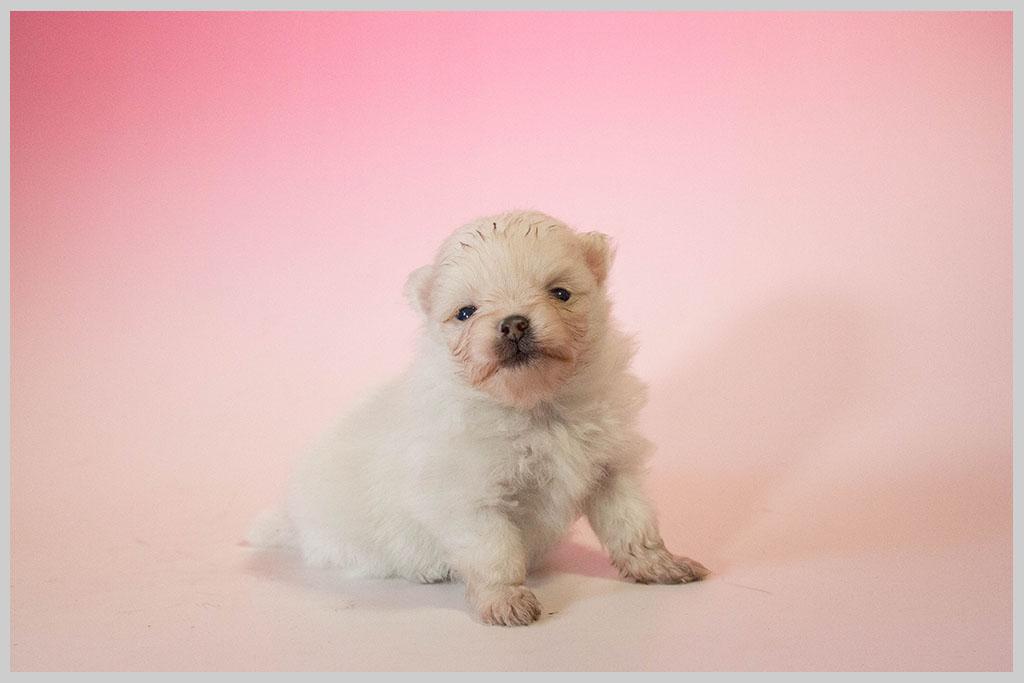 ポメラニアン02子犬販売の画像2