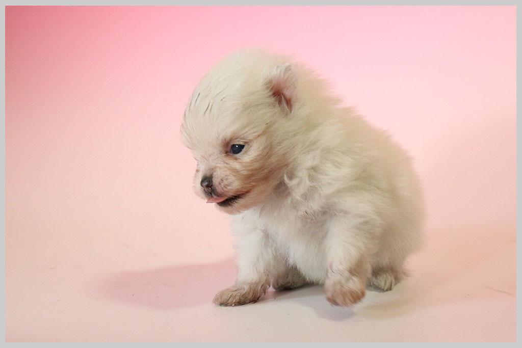 ポメラニアン02子犬販売の画像3
