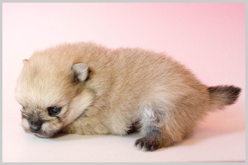ポメラニアン子犬販売03の画像3