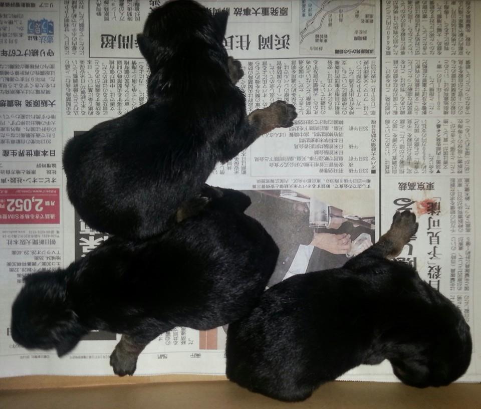 ジャーマン・シェパード子犬出産情報の画像2