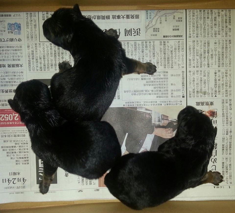 ジャーマン・シェパード子犬出産情報の画像1