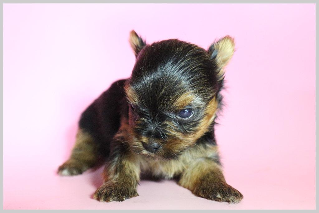 良血統ヨークシャーテリア子犬販売01の画像1