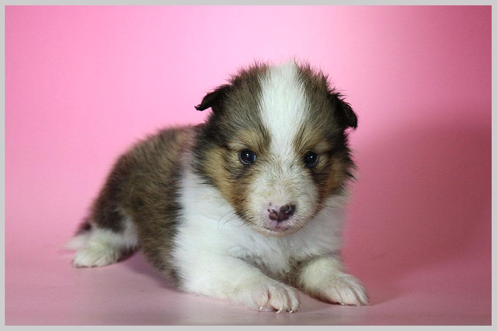 シェットランドシープドッグ子犬販売03の画像1