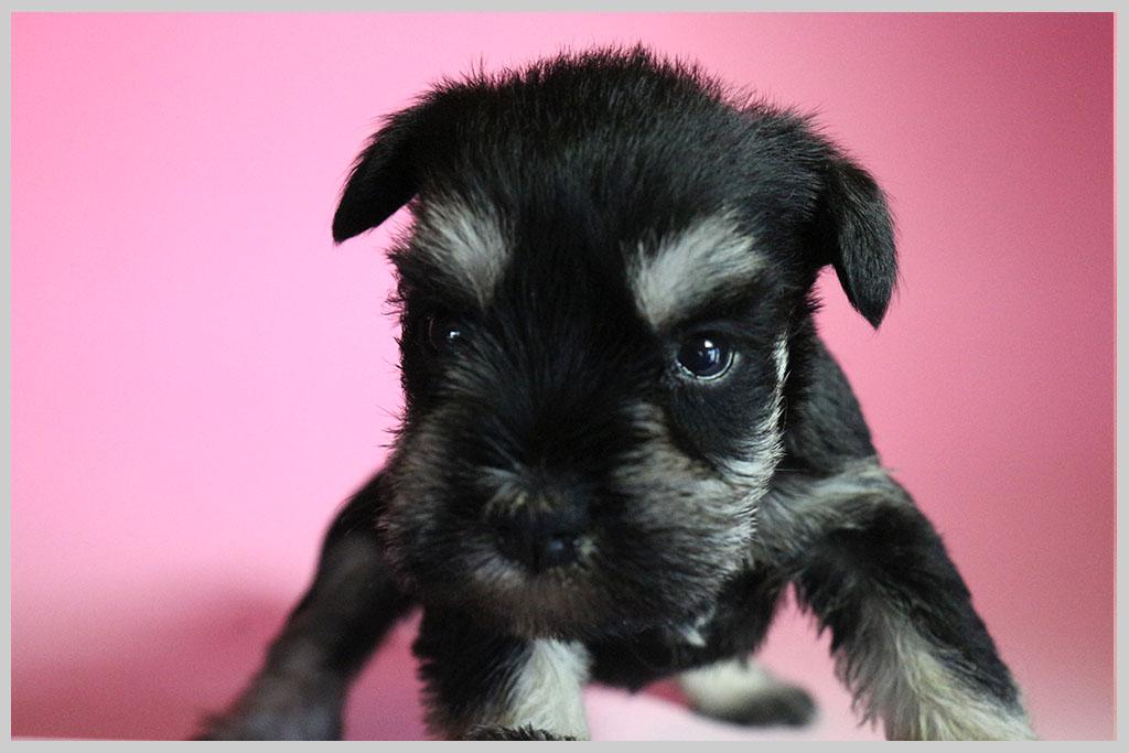 ミニチュアシュナウザー子犬販売01の画像3