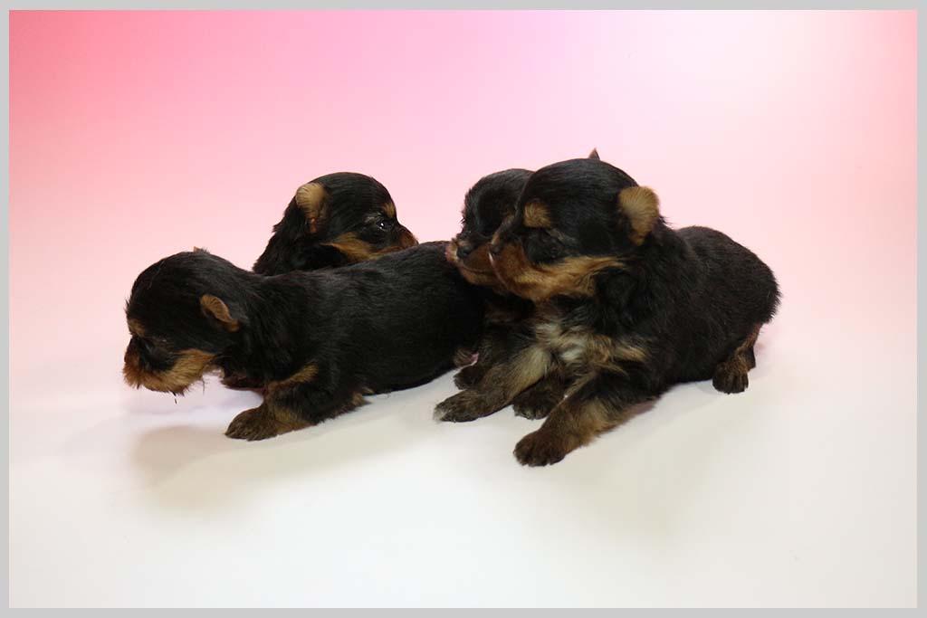 ヨークシャー・テリア子犬販売の画像1