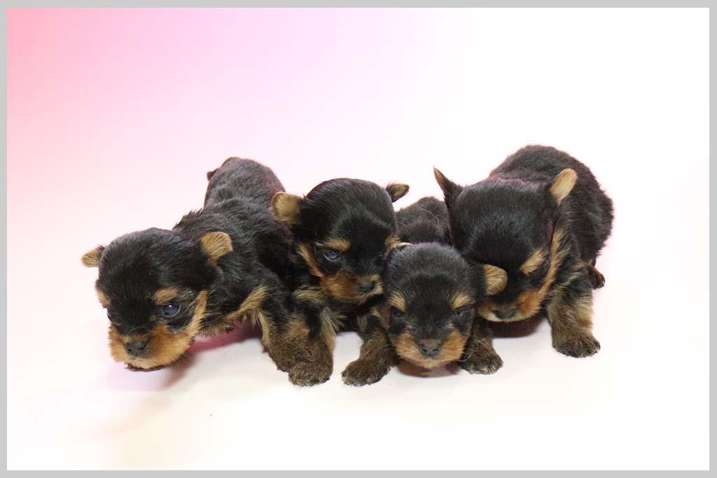 ヨークシャー・テリア子犬販売の画像2