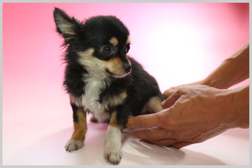 チワワ(ロングコート)子犬販売の画像2