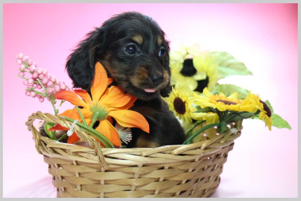 ミニチュアダックスフンド(ロング)良血統子犬販売の画像3