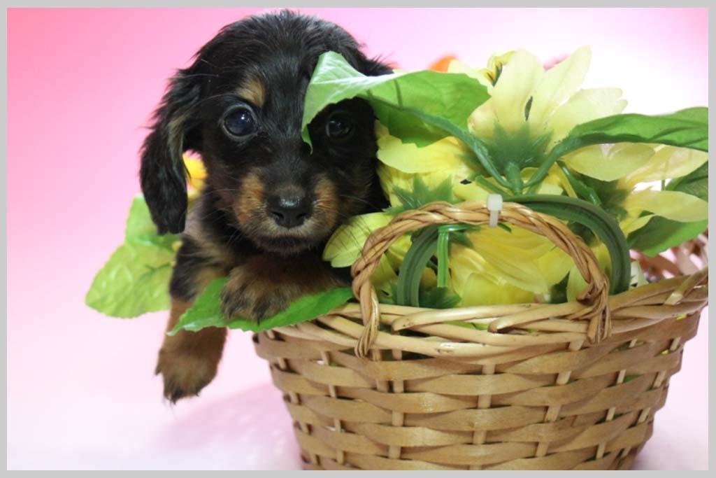 ミニチュアダックスフンド(ロング)良血統子犬販売の画像2