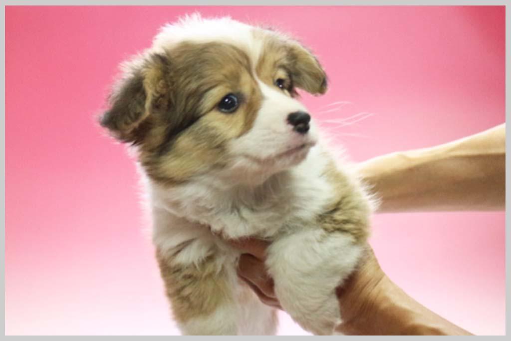 ウェルシュ・コーギー・ペンブローク01子犬販売の画像3